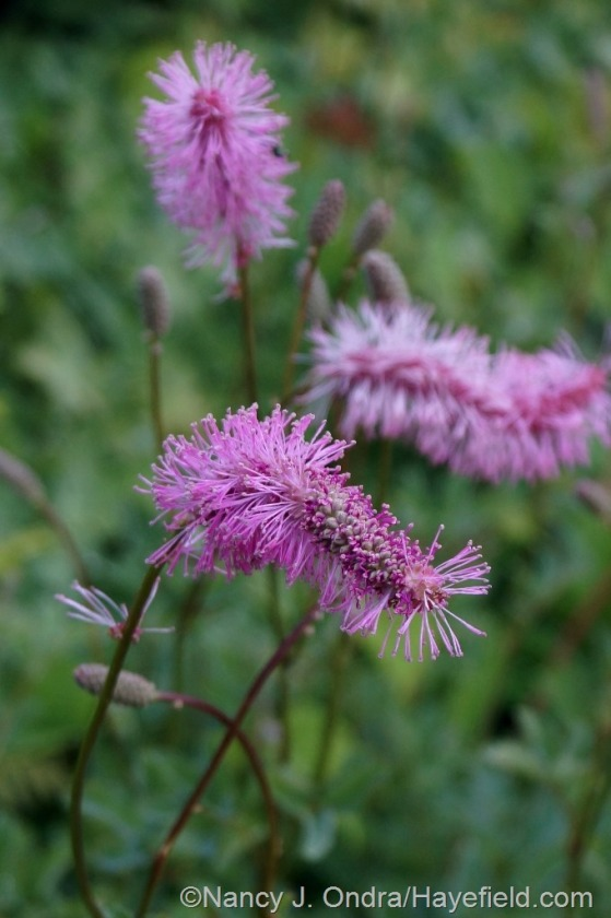 Japanese burnet (Sanguisorba obtusa) [July 10, 2014] at Hayefield.com