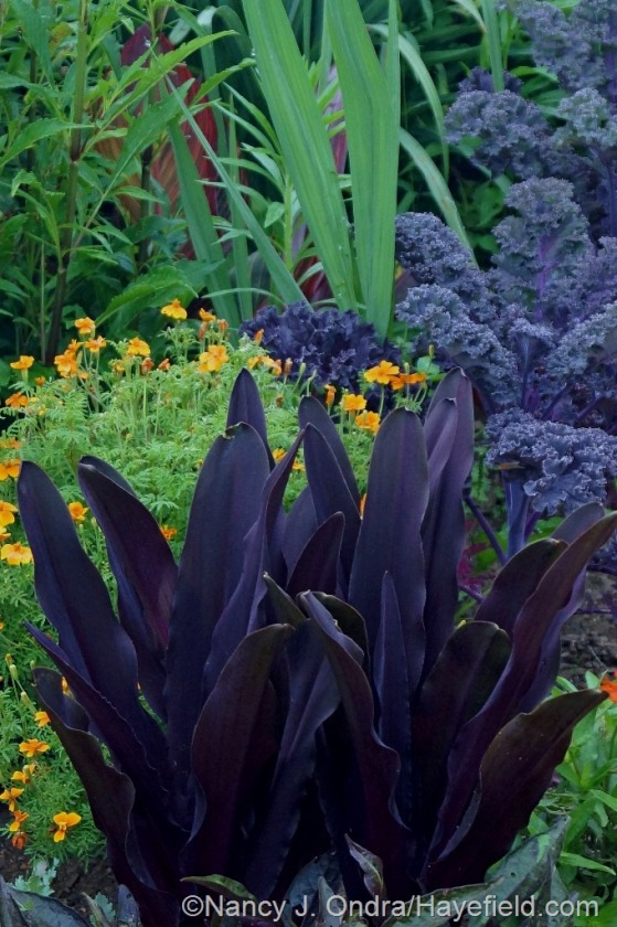 'Oakhurst' pineapple lily (Eucomis comosa) with 'Tangerine Gem' signet marigold (Tagetes signata) and 'Redbor' kale [July 1, 2014] at Hayefield.com