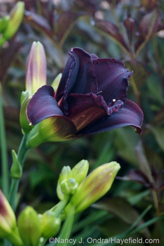'Jungle Beauty' daylily (Hemerocallis) [July 3, 2014] at Hayefield.com