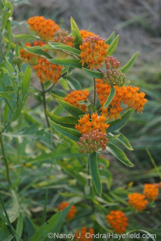 Butterfly weed (Asclepias tuberosa) in the meadow [July 1, 2014] at Hayefield.com