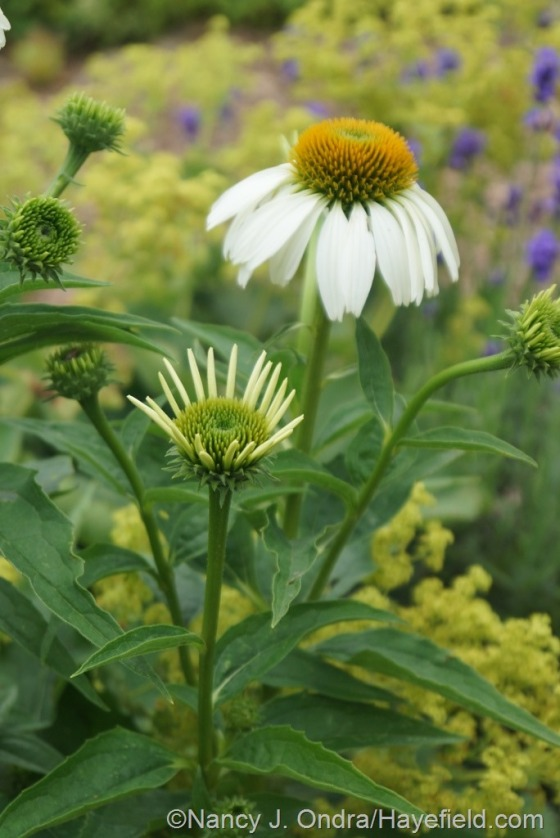 'White Swan' purple coneflower (Echinacea purpurea) [July 3, 2014] at Hayefield.com