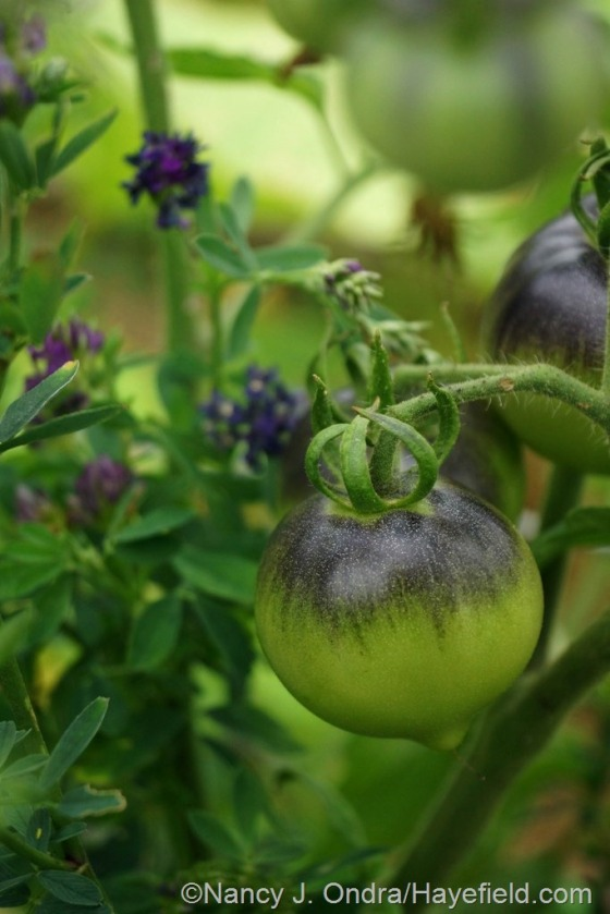 Tomato 'OSU Blue' and alfalfa [July 3, 2014] at Hayefield.com