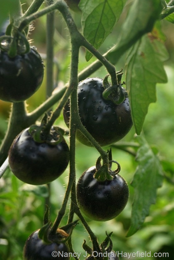 'Indigo Rose' tomato [July 9, 2014] at Hayefield.com