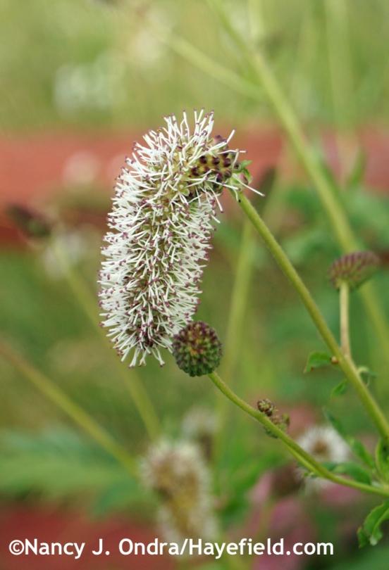 Sanguisorba armena in bloom at Hayefield.com