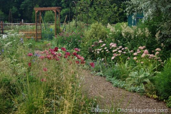 Side Garden with tufted hair grass (Deschampsia cespitosa), 'Rubenza' cosmos (Cosmos bipinnatus) , Invincibelle Spirit hydrangea (Hydrangea arborescens), and giant fleeceflower (Persicaria polymorpha) [July 10, 2014] at Hayefield.com