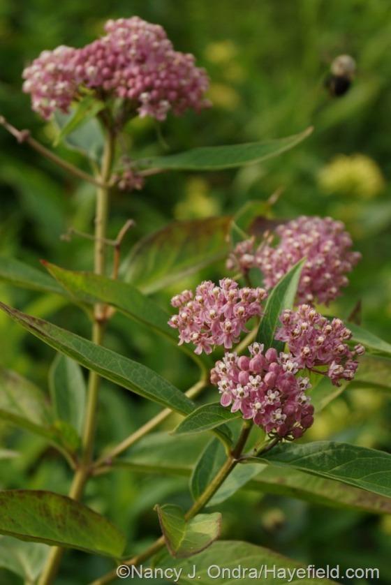 Pink milkweed (Asclepias incarnata) [July 10, 2014] at Hayefield.com