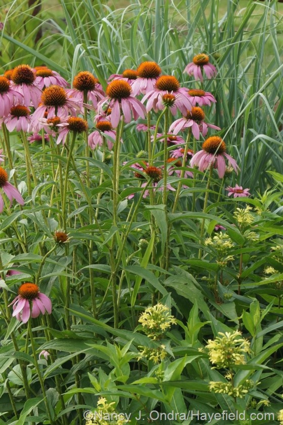 Purple coneflower (Echinacea purpurea) with 'Dewey Blue' bitter panic grass (Panicum amarum) and southern bush honeysuckle (Diervilla sessilifolia) [July 10, 2014] at Hayefield.com