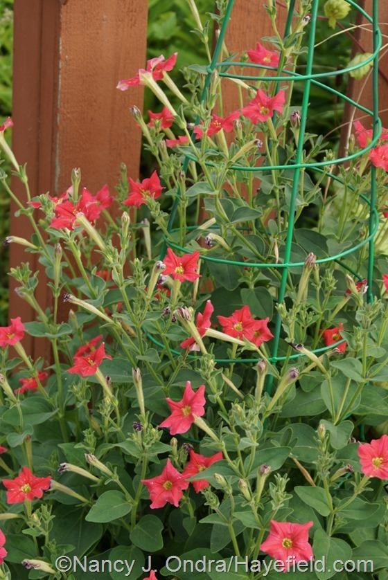 Petunia exserta [July 10, 2014] at Hayefield.com