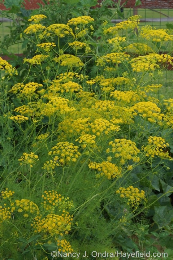 Corn parsley (Ridolfia segetum) [July 12, 2014] at Hayefield.com