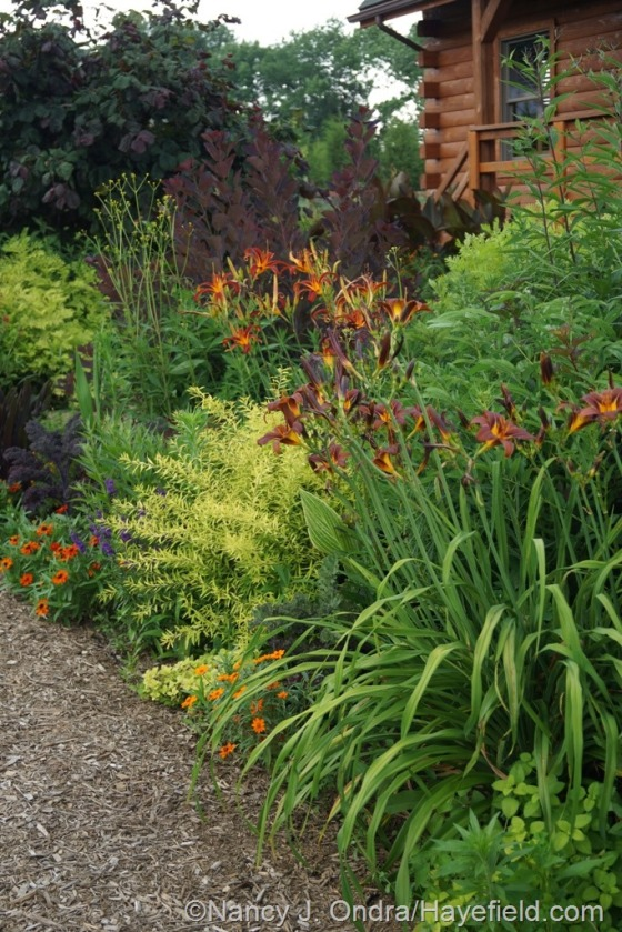 Front garden with 'Milk Chocolate' and 'Nona's Garnet' daylilies (Hemerocallis), 'Mellow Yellow' spirea (Spiraea thunbergii 'Ogon'), 'Profusion Orange' zinnia, 'Royal Purple' smokebush (Cotinus coggygria), and 'Red Majestic' contorted hazel (Corylus avellana) [July 12, 2014] at Hayefield.com