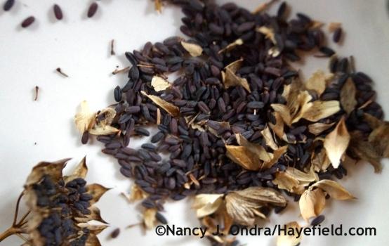 Bupleurum rotundifolium seeds with chaff at Hayefield.com