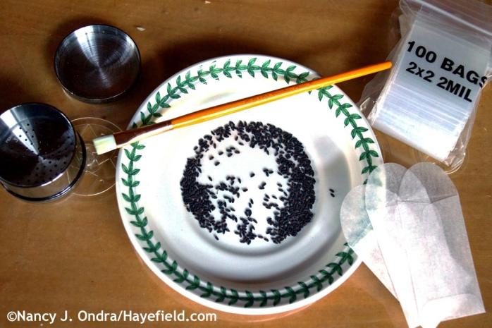 Cleaning Bupleurum rotundifolium seeds by hand at Hayefield.com
