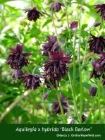 Aquilegia x hybrida 'Black Barlow'
