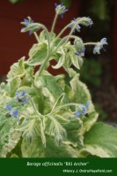 Borago officinalis 'Bill Archer'