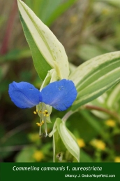 Commelina communis f. aureostriata