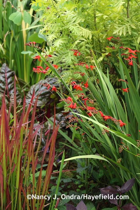 'Emberglow' crocosmia (Crocosmia) with Japanese blood grass (Imperata cylindrica 'Rubra') at Hayefield.com
