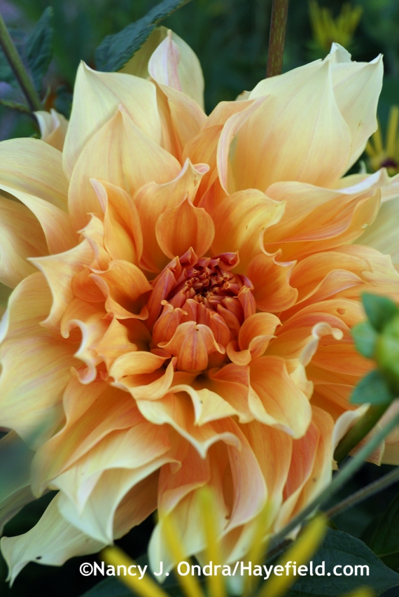 'Babylon Bronze' dahlia at Hayefield.com
