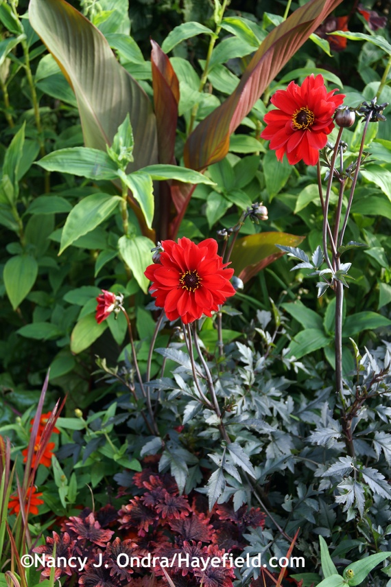 'Bishop of Llandaff' dahlia at Hayefield.com