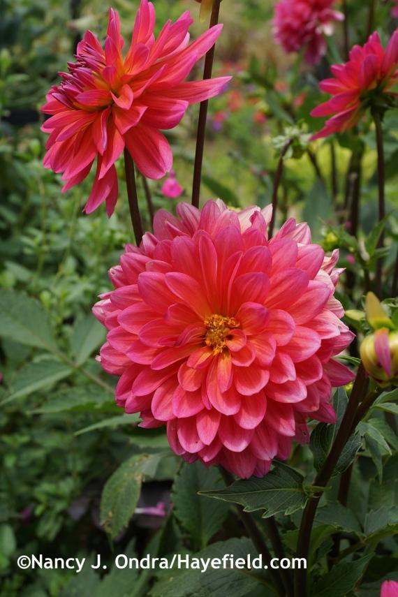 'Karma Fuchsiana' dahlia at Hayefield.com