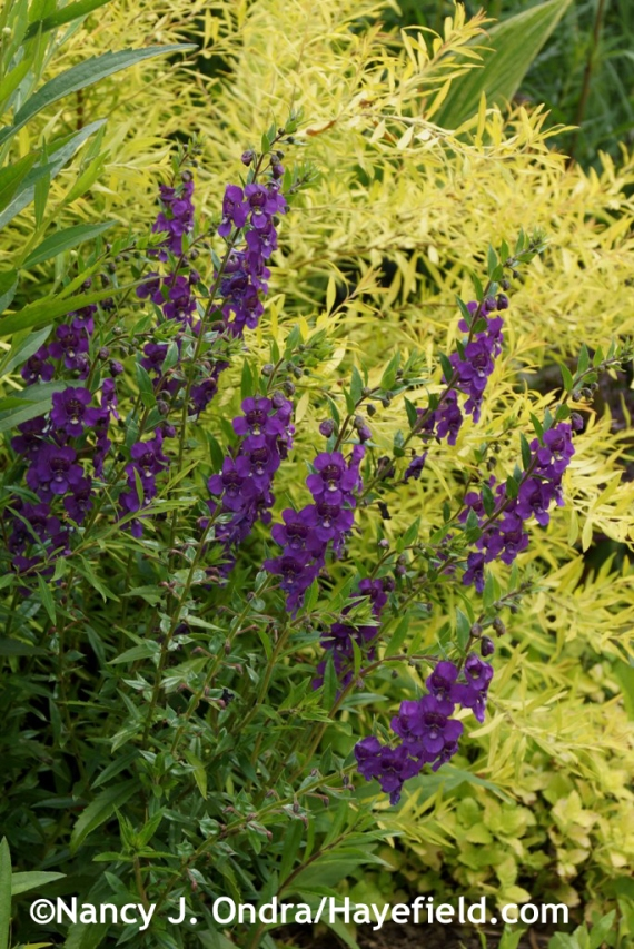 'AngelMist Deep Plum' angelonia (Angelonia angustifolia) against Mellow Yellow spirea (Spiraea thunbergii 'Ogon') at Hayefield.com