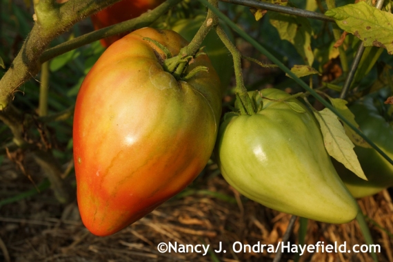 'Eagle's Beak' tomato at Hayefield.com