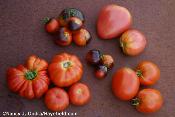 Some tomato highlights: 'OSU Blue' (top left), 'Eagle's Beak' (top right), 'Romanian Oxheart' (bottom right), 'Puszta Kolosz' (bottom left), and 'Indigo Rose' (center) at Hayefield.com