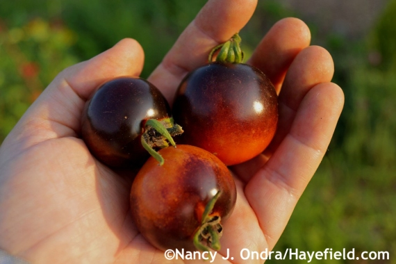 'Indigo Rose' tomato at Hayefield.com