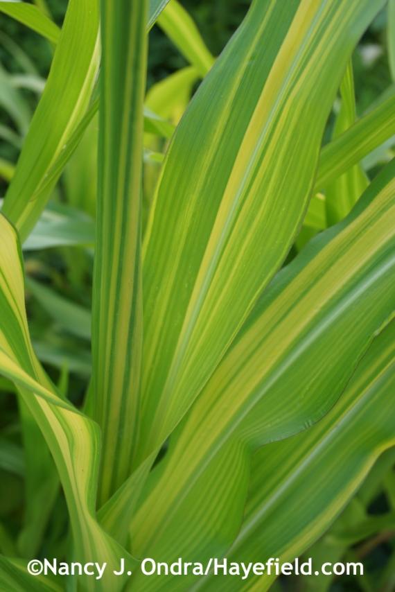 'Old Gold' corn (Zea mays) at Hayefield.com