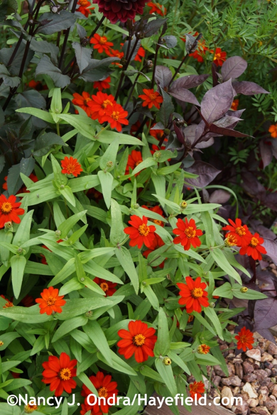 'Profusion Knee High Red' zinnia at Hayefield.com