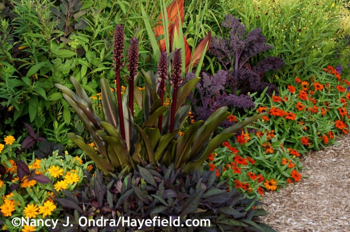 'Oakhurst' pineapple lily (Eucomis comosa) with 'Sweet Caroline Raven' sweet potato vine (Ipomoea batatas), 'Redbor' kale, and 'Profusion Orange' and 'Profusion Double Golden' zinnias at Hayefield.com