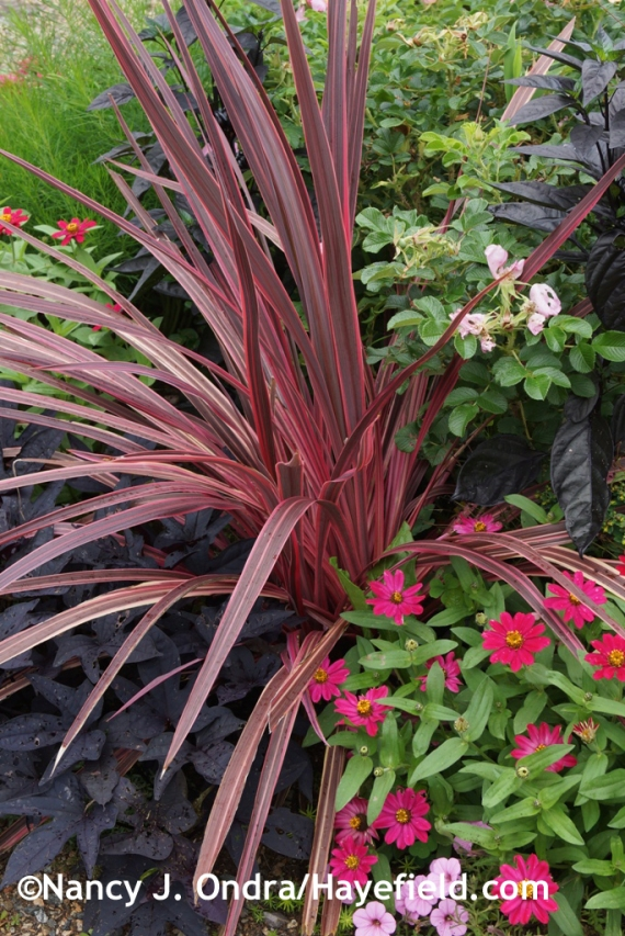 Electric Pink cordyline (Cordyline banksii) with 'Profusion Cherry' zinnia and 'Sweet Caroline Raven' sweet potato vine (Ipomoea batatas) at Hayefield.com