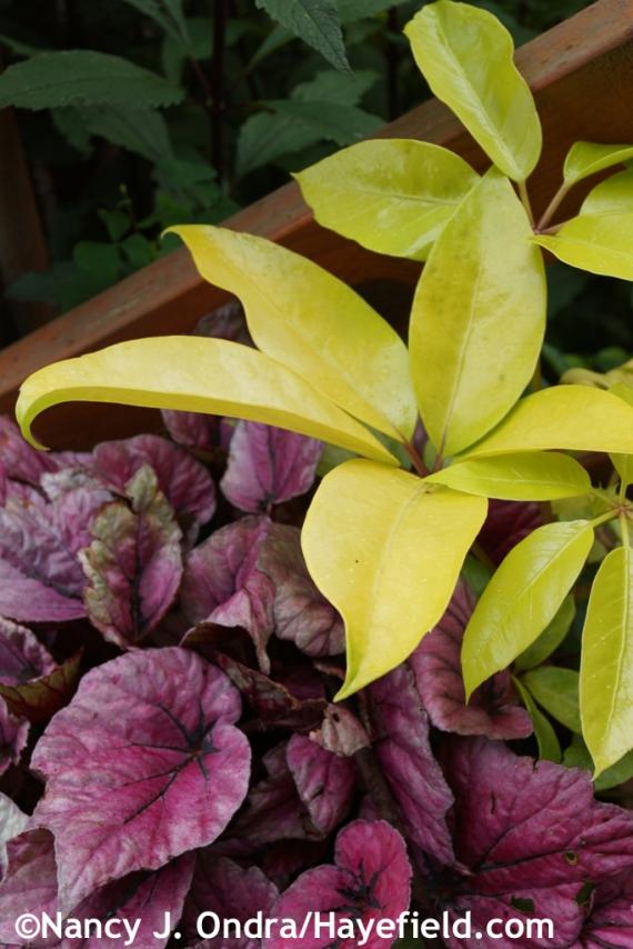 'Amate Soleil' schefflera (Brassaia actinophylla) with 'Shadow King Pink' rex begonia (Begonia rex) at Hayefield.com