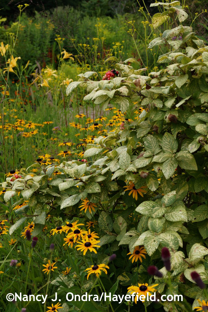 Variegated wayfaringtree (Viburnum lantana 'Variegata') at Hayefield.com
