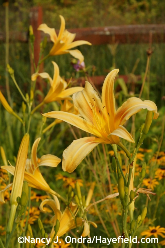 'Autumn Minaret' daylily (Hemerocallis) at Hayefield.com