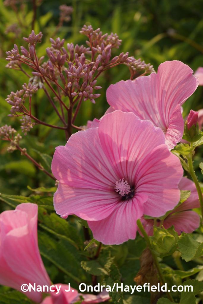 Annual mallow (Lavatera trimestris) with Joe-Pye weed (Eutrochium maculatum) at Hayefield.com