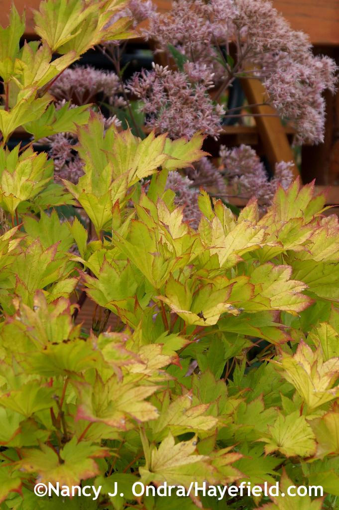 Golden full moon maple (Acer shirasawanum 'Aureum') with Joe-Pye weed (Eutrochium maculatum) at Hayefield.com
