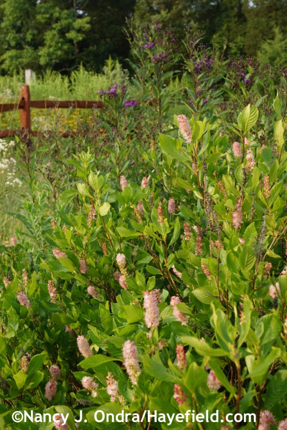 'Ruby Spice' summersweet (Clethra alnifolia) in the meadow at Hayefield.com