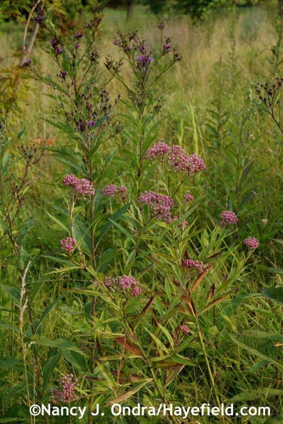 Pink milkweed (Asclepias incarnata) and New York ironweed (Vernonia noveboracensis) in the meadow at Hayefield.com