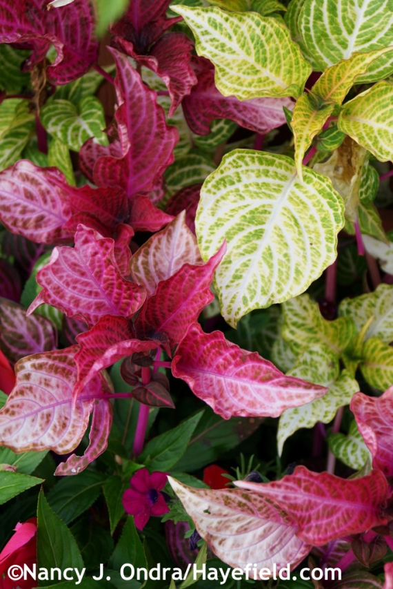 'Red Heart' and 'Variegated Heart' bloodleaf (Iresine) at Hayefield.com