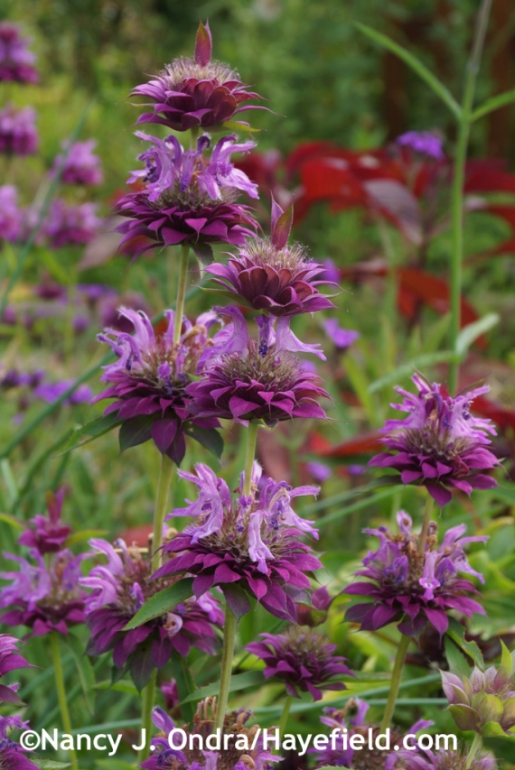 'Bergamo' bee balm (Monarda) at Hayefield.com