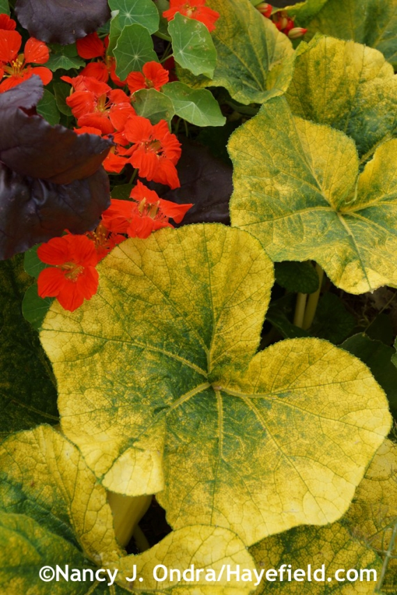 'Autumn Glow' winter squash with nasturtium (Tropaeolum majus) at Hayefield.com