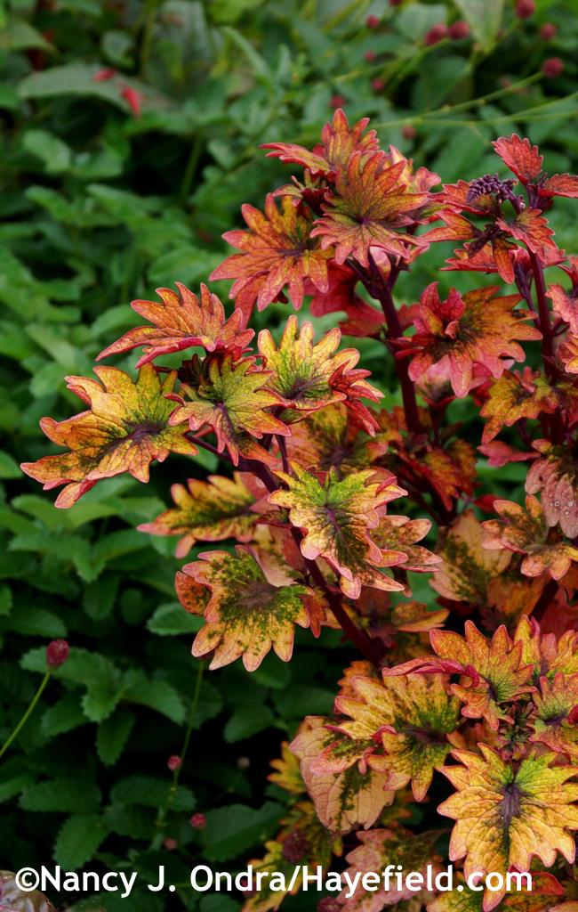 'Smallwood's Driveway' coleus (Solenostemon scutellarioides) at Hayefield.com