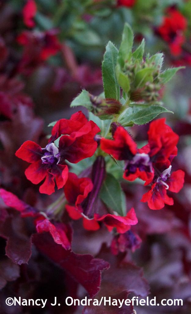 'Flamenco Samba' cuphea (Cuphea llavea) at Hayefield.com