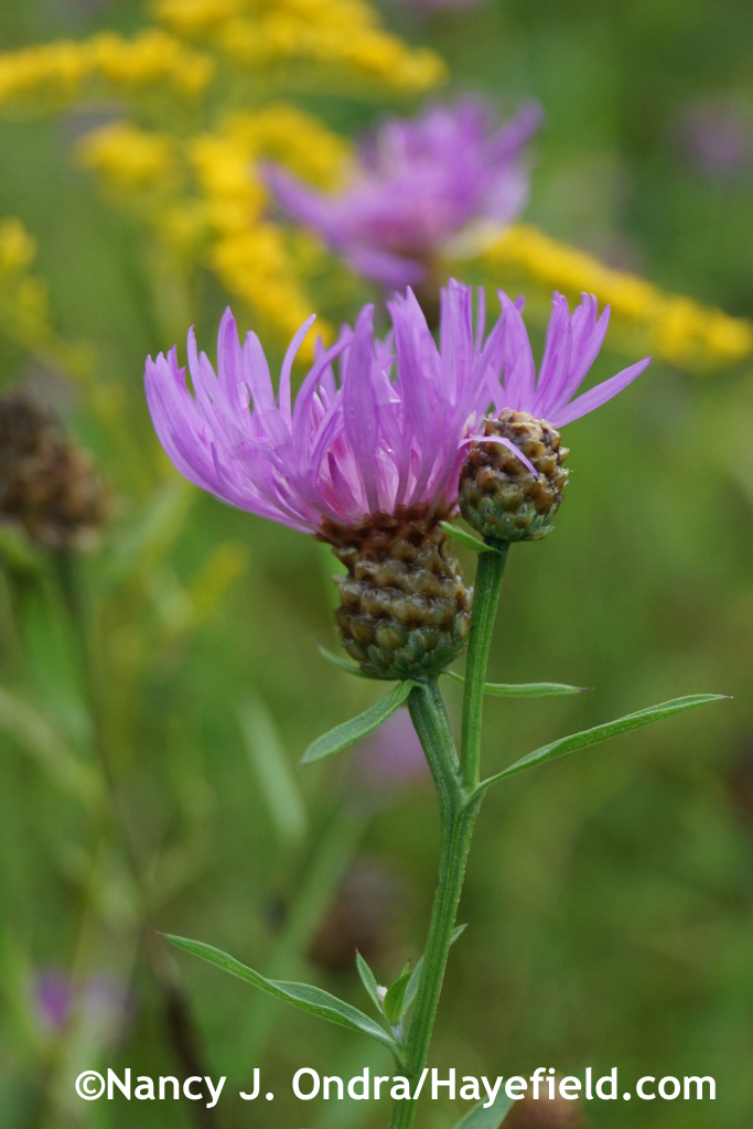 Spotted knapweed (Centaurea stoebe ssp. micranthos) in the meadow at Hayefield.com