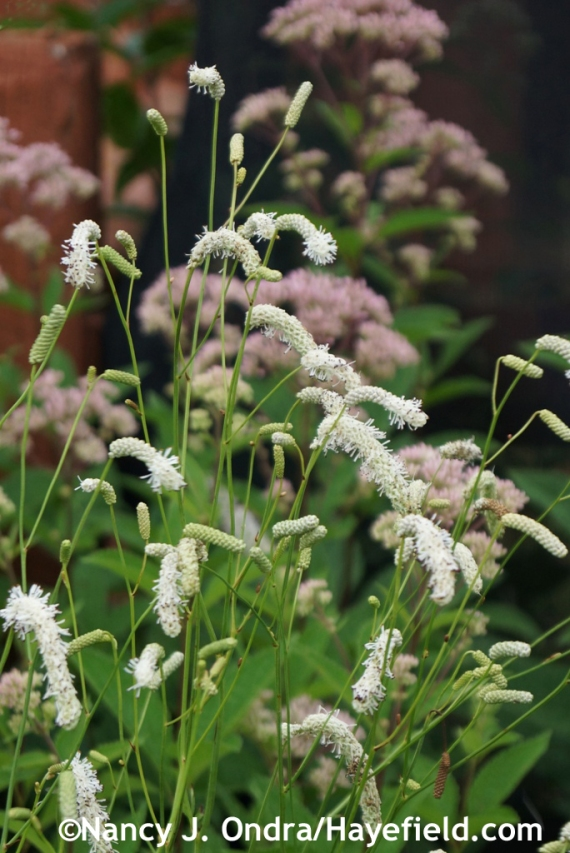 White Japanese burnet (Sanguisorba tenuifolia 'Alba') at Hayefield.com