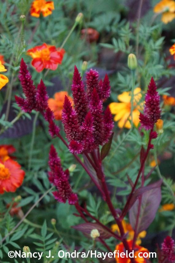 'Mega Punk' spike celosia (Celosia spicata) at Hayefield.com