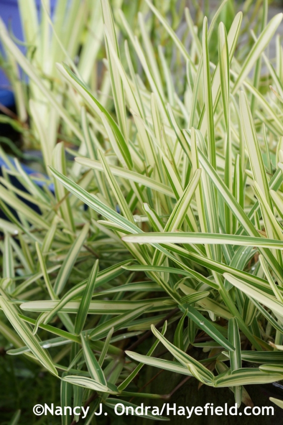 Variegated St. Augustine grass (Stenotaphrum secundatum 'Variegatum') at Hayefield.com
