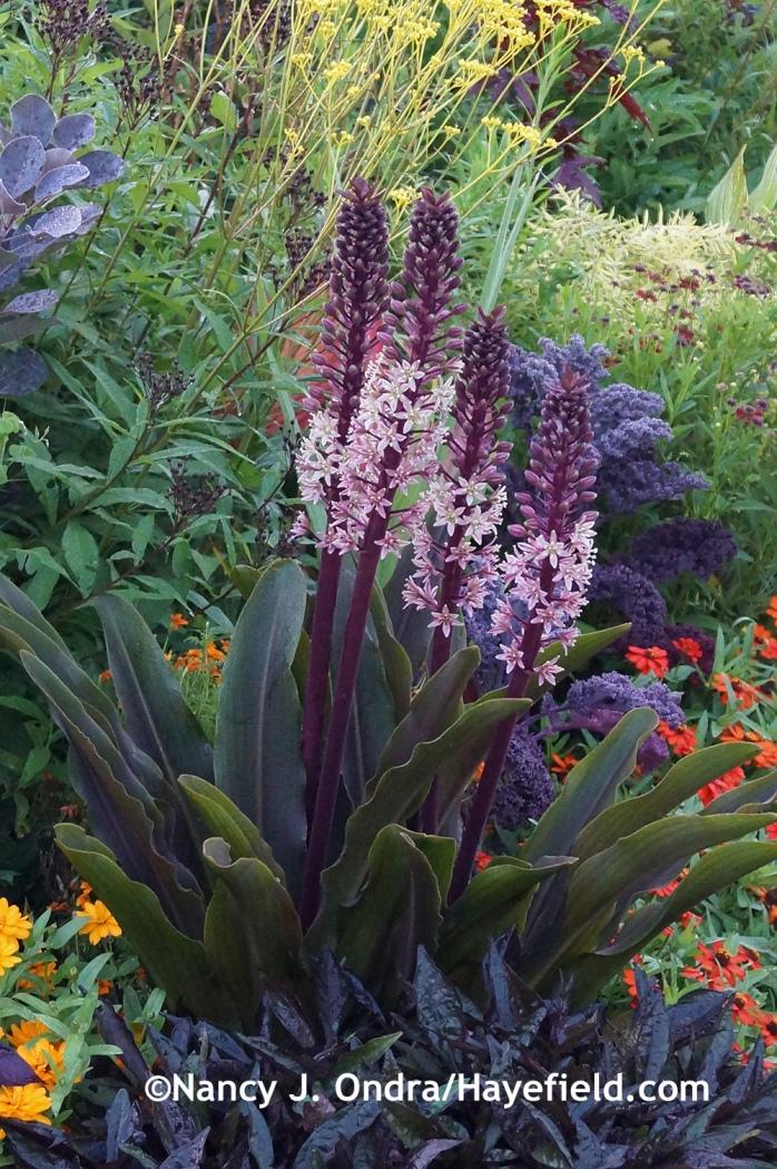 'Oakhurst' pineapple lily (Eucomis comosa) at Hayefield.com