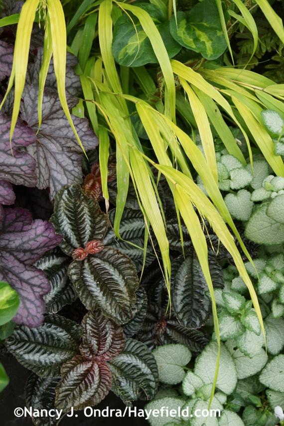 'All Gold' Hakone grass (Hakonechloa macra) with 'White Nancy' deadnettle (Lamium maculatum), 'Norfolk' friendship plant (Pilea involucrata), and 'Blackberry Ice' heuchera at Hayefield.com