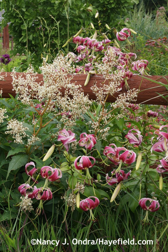 'Black Beauty' lily (Lilium) with giant fleeceflower (Persicaria polymorpha) at Hayefield.com